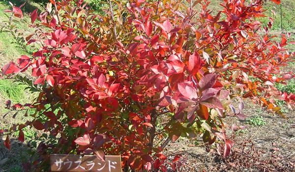 秋:紅葉(品種名 サウスランド)