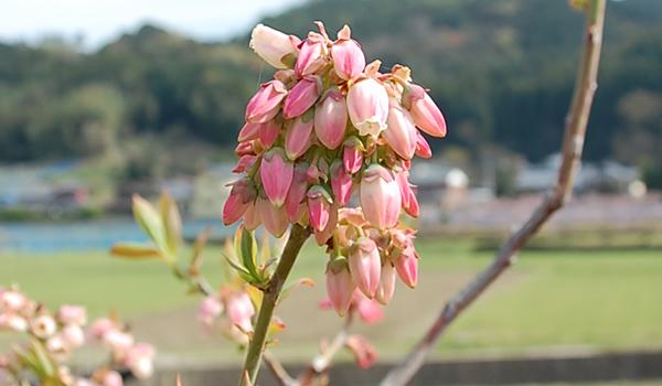 春:開花(品種名 リベール)