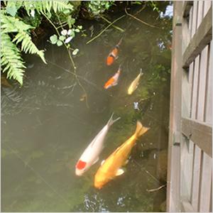 湧水池の鯉